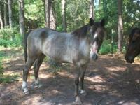 smokey a 6 yr old non reg blue roan gelding he stands