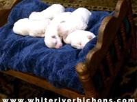 White River Bichons Champion Bloodlines! AKC