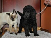 Ready for their new homes! Quality Standard Poodle
