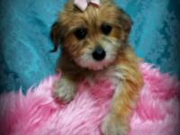 We have a precious litter of Morkie (Yorkshire