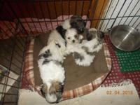 we have 1 male and 3 females non-shedding puppies left,