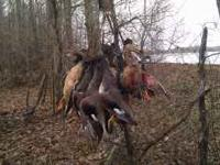 GUIDED AND NON GUIDED MS DUCK HUNTS. WE HUNT IN THE