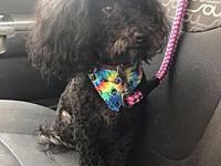 Nonie's story Nonie is a 2-3 year old poodle. She is