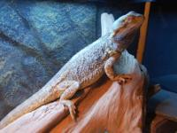 1 normal adult male bearded dragon ( on the drift wood