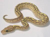 We are now taking deposits on 2012 baby ball pythons.