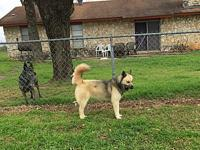 Norman's story Meet Norman! He is a 3 year old Akita