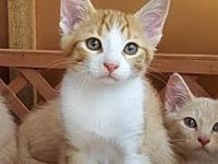 Norman's story Adoption fee is $75, this kittens approx