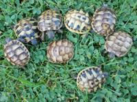 Almost one and a half year old sulcata Tortoises £90