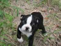 This wonderful boston terrier puppy is all you have
