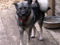 Virginia Kate is a small Elkhound. She had the elkhound