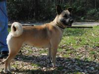 Norwegian Elkhound - Princess - Medium - Adult - Female