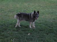I have two adult Norwegian Elkhounds for sale. The