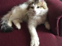 Show quality registered healthy NNorwegian Forest cat