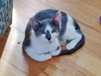 Nosy is a 4.5 month old gray and white male domestic
