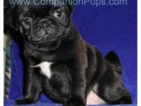 AKC Champion Bloodline PUG Puppies !! Puppies variety