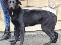 Nova is a young Labrador Retriever mix with a heart of