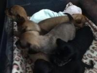 Cute Chiweenies, Now accepting $100 non refundable
