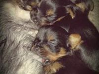 I have 3 male yorkies that we are accepting deposits