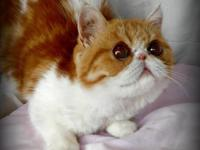 Stunning CFA Exotic Shorthair kittens on their way! Due