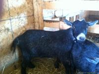 I have a NPGA Wethered pygmy goat for sale ($75 or