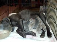 Blue and silver weimaraner puppies. 5 weeks old. Ready