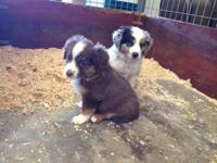 Two Beautiful Registered Mini Aussie pups, both female.