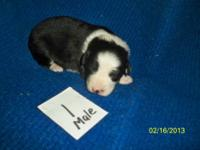 This is a litter of NSDR Mini aussie's puppies. Colors