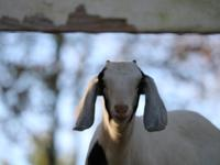 We have three sweet goat kids for sale. All of our goat