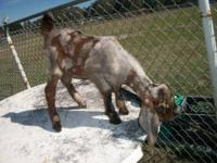 ADGA registerable baby nubian doeling.She is on 3