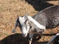I have a 7 month old BLUE roan BUCK he is a very sweet