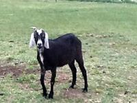 My daughter is selling her Nubian -2 year old doe-