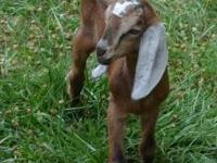 For Sale: One purebred Nubian buck kid. Second born of