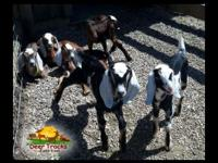 We have lots of nubian kids for sale: bucklings and