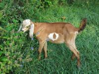 For Sale: One purebred Nubian buck kid. First born of