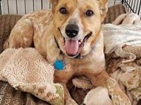 Nugget's story Petite Female Red Heeler Nugget is