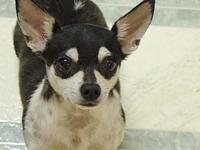 Nugget's story Nugget is a Chihuahua/terrier mix, about