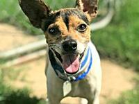 Nugget's story Nugget Male Jack Russell Terrier mix 3