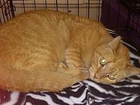 Nutmeg (Meg)'s story This beautiful adult orange tabby