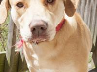 Nyko is a 1 yr old male boxer/lab mix.  Unfortunately