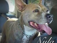 Nyla's story Nyla is a sweet 7yr old Am Staff Terrier