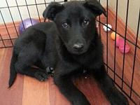 Nymph's story Nymph is a 12 week old lab mix looking