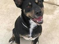 Oakley's story Oakely is a 1 year old Kelpie mix on the
