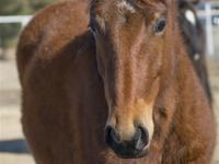 Name: Oakley Gender: Filly Breed: Quarter Horse Cross