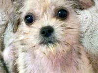 TINY, BUT FEISTY! This is OAKLEY, a Shih Tzu /