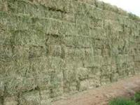 I HAVE TONS AND TONS OF NEW CROP CLEAN OAT HAY BALED
