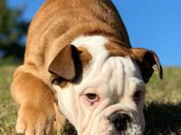 Angelic AKC Male and Female English Bulldog puppies for
