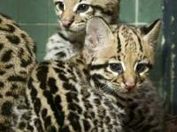 Very exotic litters of Serval, Savannah (F1 to F6),