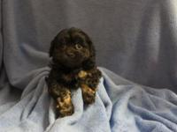 Ocherese is a poodle, Pekingese, maltese mix. Indoor
