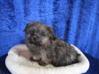 This male Ocherese puppy is a pekingese, maltese, and