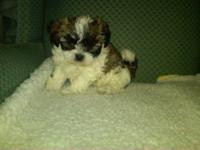 Ocherese are a maltese, poodle and pekingese mix. Are